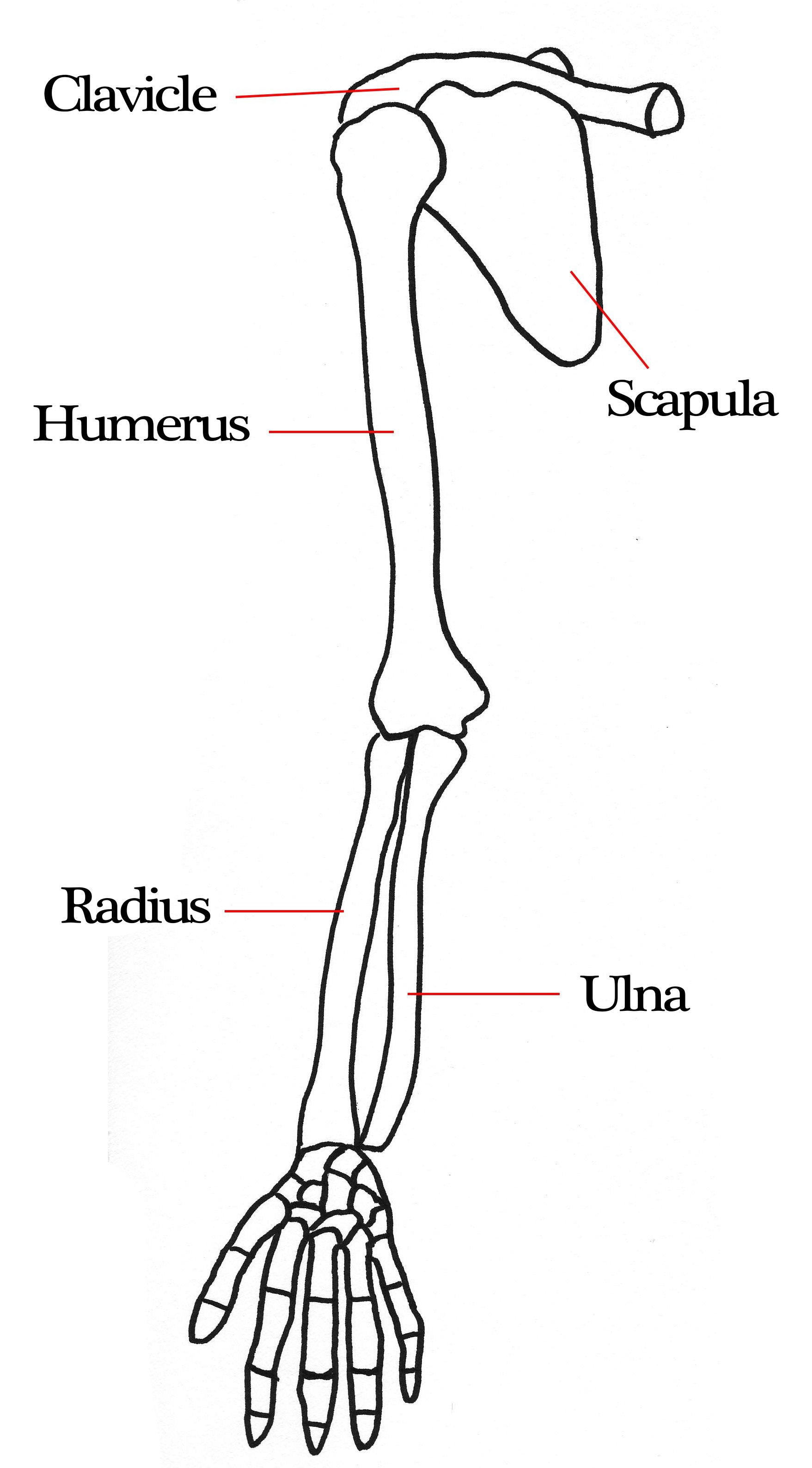 Human Arm Bones Labeled
