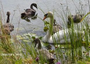 Swan and cygnets