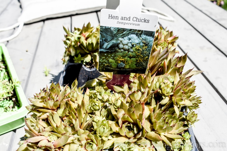 image of hen and chicks plants ready to be planted in wood vertical garden