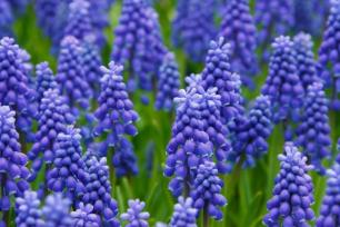 purple-hyacinth-variety