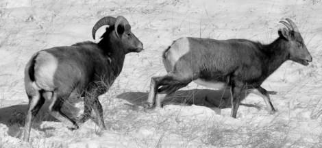 Colorado Rocky Mountain Big Horn Sheep 026