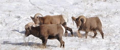 Colorado Rocky Mountain Big Horn Sheep 064