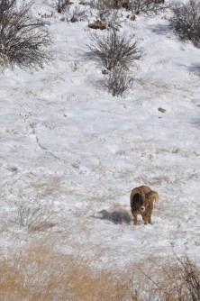 Colorado Rocky Mountain Big Horn Sheep 076