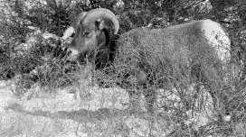 Rocky Mountain Big Horn Sheep 090