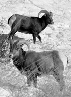 Colorado Rocky Mountain Big Horn Sheep 093