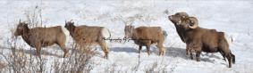 Colorado Rocky Mountain Big Horn Sheep 101