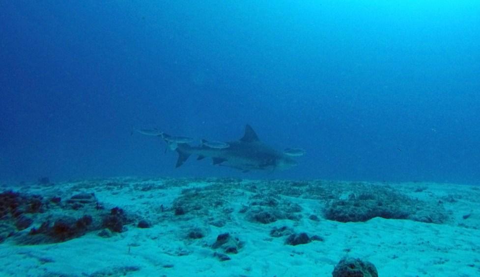 female bull shark scuba diving playa del carmen mexico