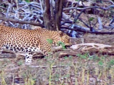 Sri Lanka: Leopard in Yala National Park