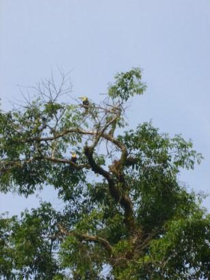 toucan tortuguero costa rica