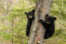 black-bears-low_res-planet-earth-live
