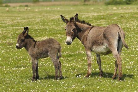 Baby-Donkey-Parent-Donkey.jpg.638x0_q80_crop-smart