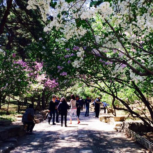 Summer Palace lilac blossoms