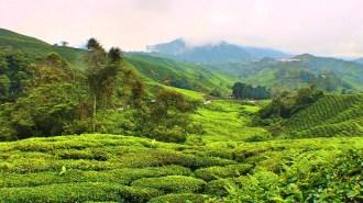 Cameron-highlands-3-boh-tea-plantation