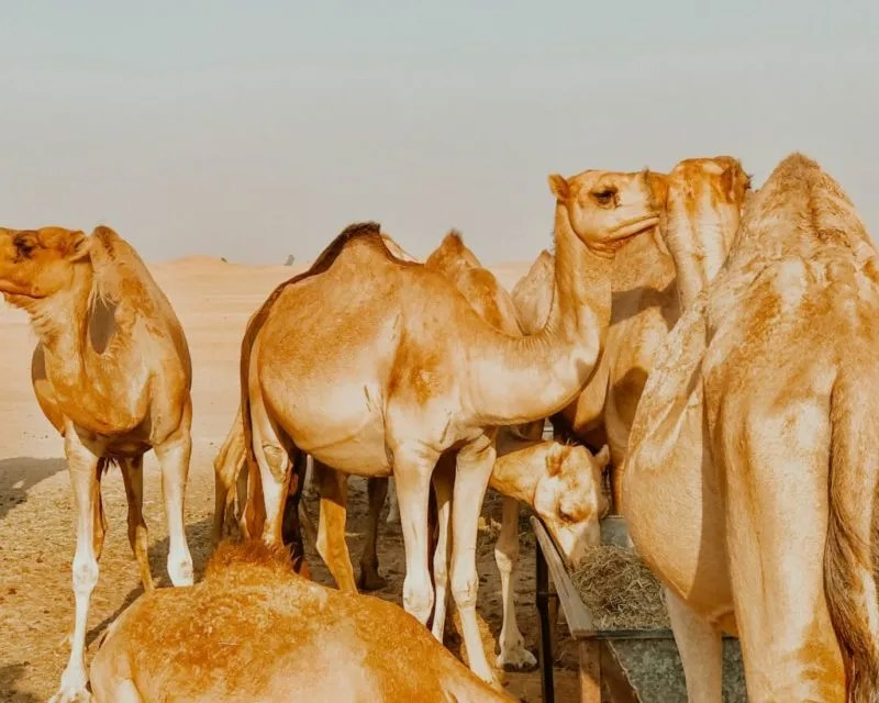 Picture of a camel farm in Abu Dhabi