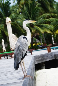 heron perched on the deck