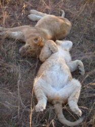 Lion cubs sleeping Antelope Park Zimbabwe
