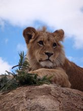 Damisi teenage lion at Antelope Park Zimbabwe