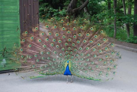 skansen-peacock