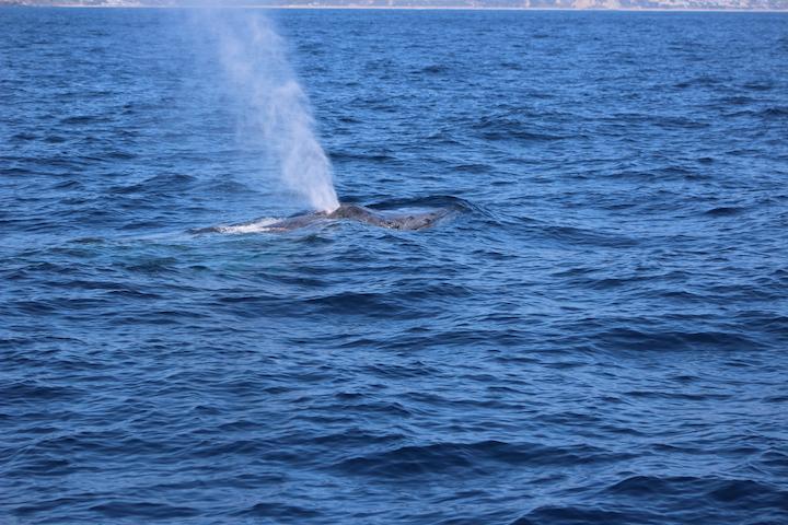 52 Foot Humpback Whale   Dana Point Wharf Whale Watching + Sportsfishing