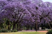 Buenos Aires in the spring is blanketed with the color purple. Parks are filled with purple flowering trees. Simply magnificent.