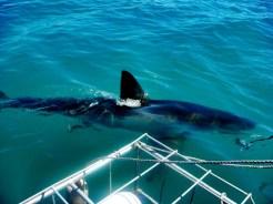 Shark diving is a must-do activity