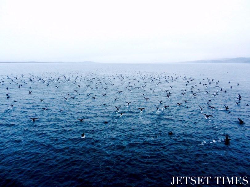 14 A sea full of birds Puerto Toro Chile