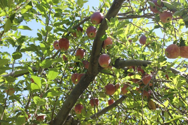 Guests can pick apples at the orchard at Slide Rock State Park near Flagstaff, Arizona