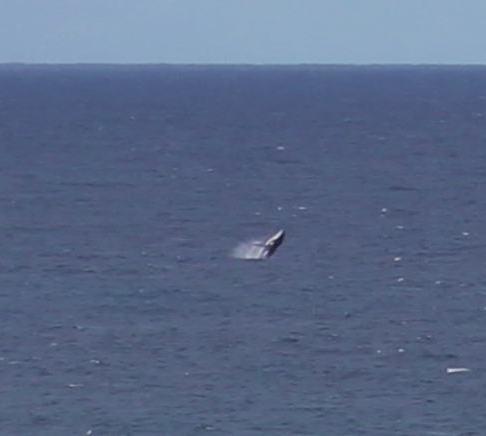 Breaching whale off coast in Coolangatta, Gold Coast, Australia