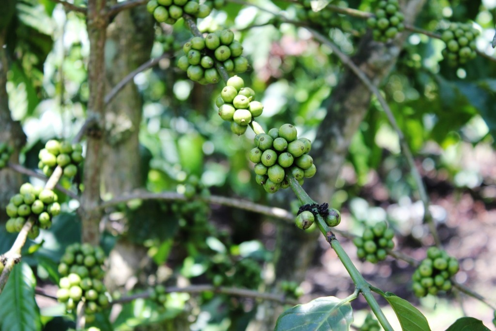 Vietnam Coffee beans not yet ready for harvest