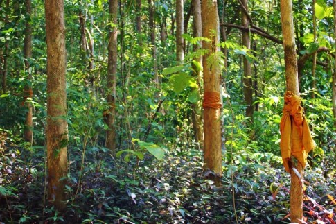Trees in forest in Chiang Mai, Thailand