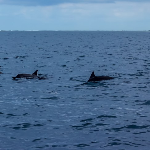 Swimming dolphin pod in Mauritius