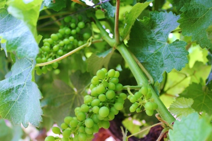 Budding grapes at Groot Constantia Vineyards in Cape Town, South Africa
