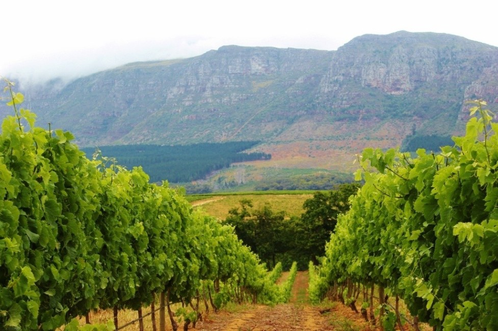 Vineyards and mountain views at Groot Constantia in Cape Town, South Africa