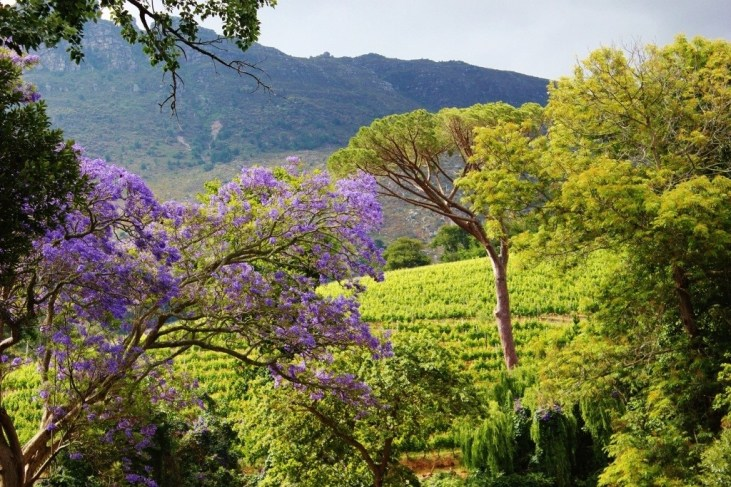 Vineyards at Eagle's Nest Wine Farm in Cape Town, South Africa