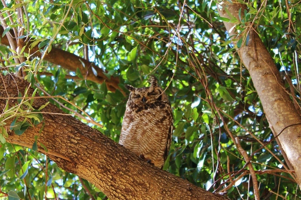 The mama Spotted Eagle Owl keeps a close watch on her young baby