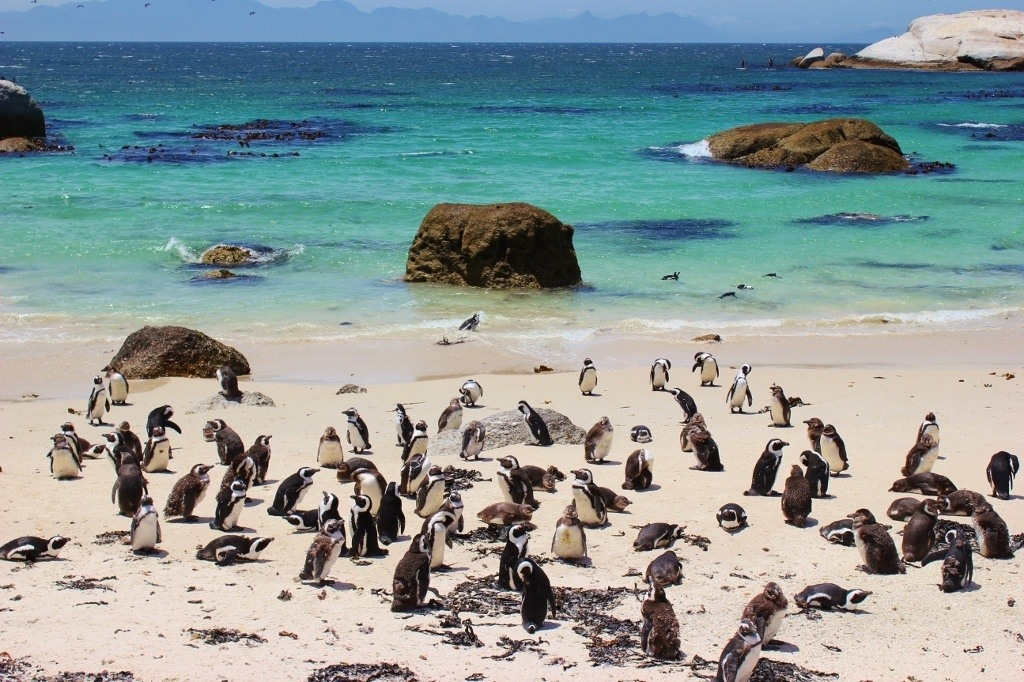 Penguins at Boulders Beach Simon's Town South Africa JetSetting Fools