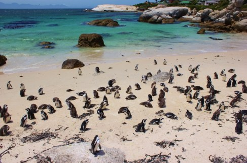 African Penguin Colony at Foxy Beach near Cape Town, South Africa