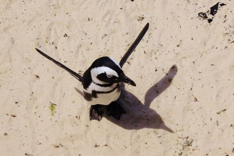 Penguin flaps its wings on Boulders Beach, South Africa