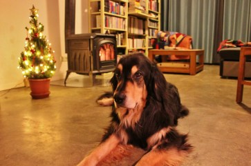 Housesitting Beek, Netherlands Hovawart Dog Berus