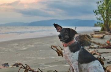 Housesitting Zancudo, Costa Rica Beach Dog Magoo