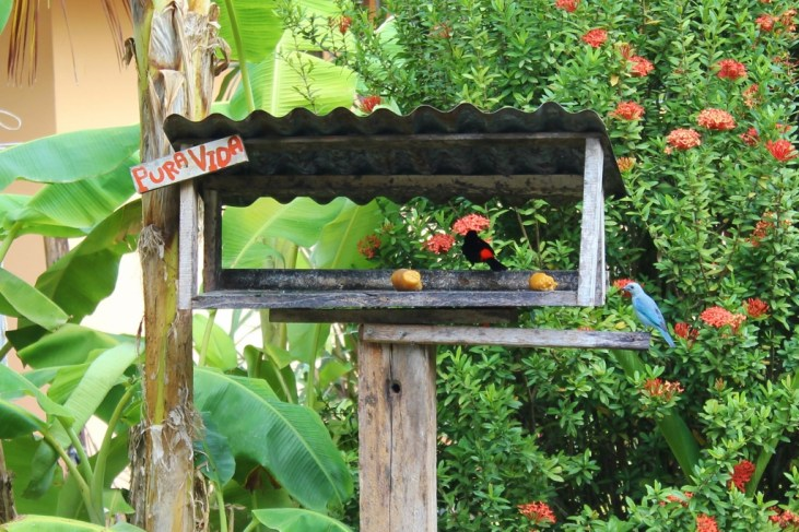 Blue-gray and Cherrie's tanagers in birdhouse in Costa Rica