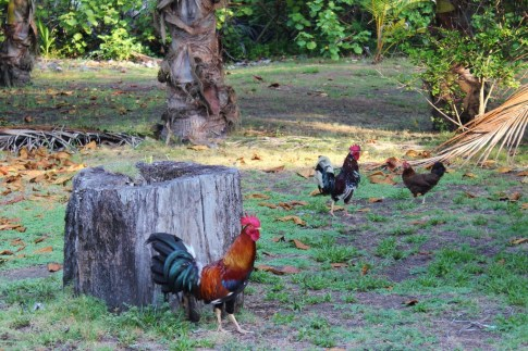 Chickens in the yard in Costa Rica