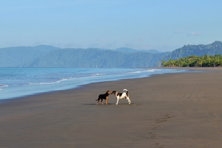 Dogs play on the beach in Costa Rica
