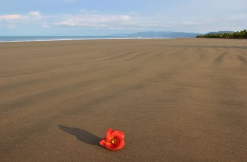 Red flower on the beach on Playa Zancudo, Costa Rica