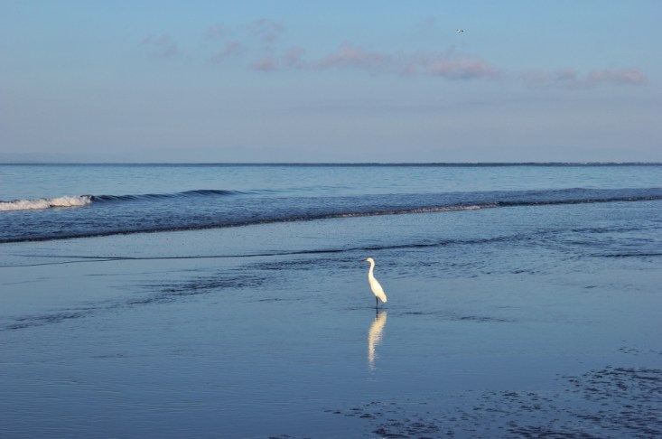 A snowy egret white bird on the beach in Costa Rica