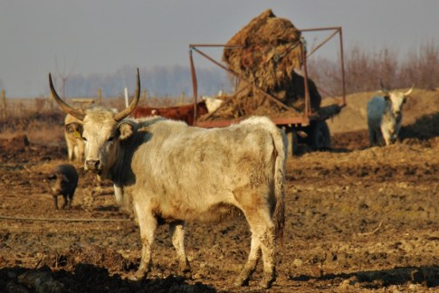 Cattle in field at Orlov Put Eco Farm