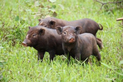 Three pigs in Ban Kok Eak Village, Laos