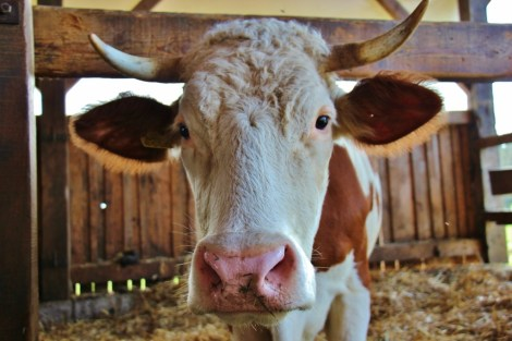 Cow at Ekoloska Kmetija Totter farm, Bela Krajina, Slovenia