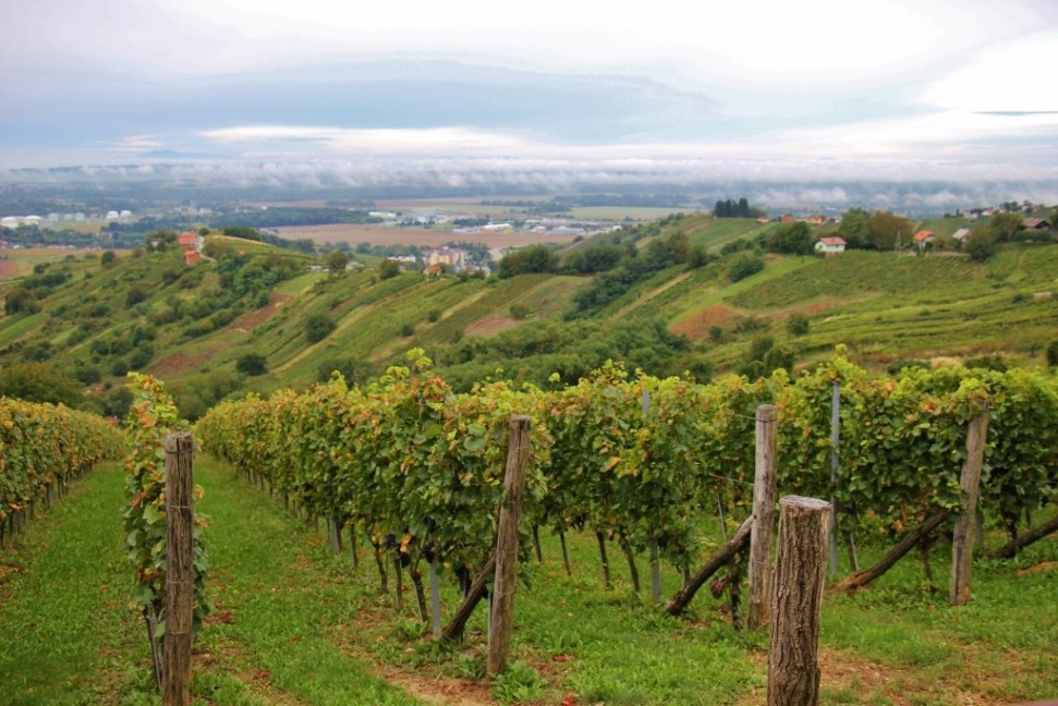 Vineyards of Hisa Vina Cuk in Prekmurje, Slovenia