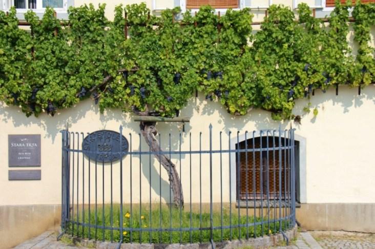 The World's Oldest Vine at Old Vine House in Maribor, Slovenia